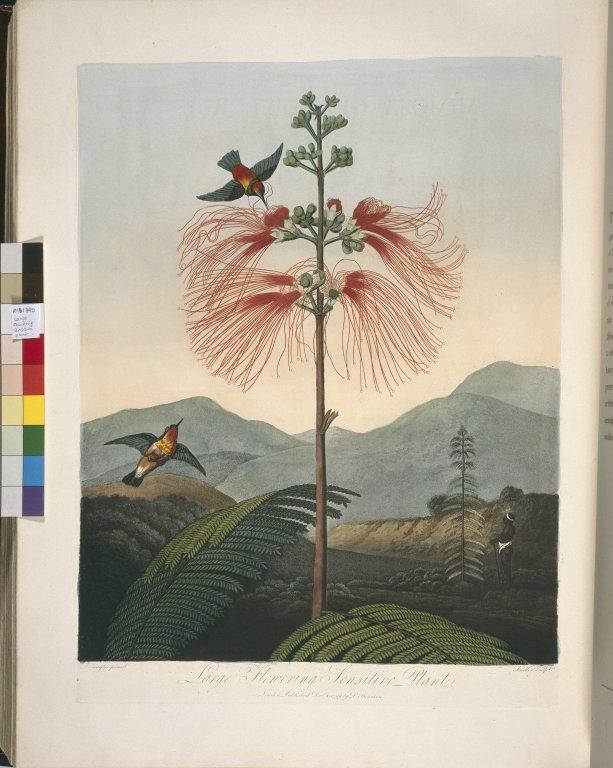 Large Flowering Sensitive Plant